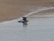 Seal at Brancaster Beach