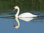 Swan in Reflective Mood.