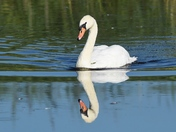 Swan in Reflective Mood.