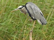 Heron with an Itch.