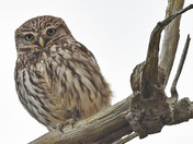 Little Owl in the Oak ( Part Three )