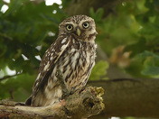 Little Owl in the Oak( Part one )