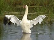 Swan in Full Molt.