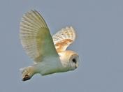Flight of the Barn Owl