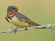 Swallows & Young