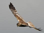 Marsh Harrier of the Fen