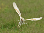 Barn Owl with its Catch.