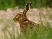 A Hare by the Marsh