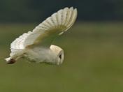 A Barn Owls World ( Part Three )