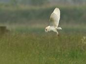 The Barn Owl Hunting