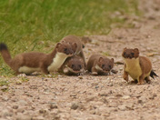 Stoat and her Kits.