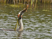 The Grebe & the Tench