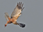 The Male Marsh Harrier of Strumpshaw Fen