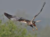 The Male Marsh Harrier of Strumpshaw Fen