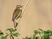 Sedge Warbler in Song