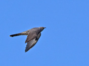 Cuckoo at the Fen