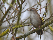 The Cetti's Warbler