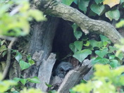 Tawny Owl Chicks in nest and adult in the tree next to the nest