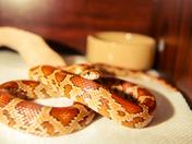 Baby Corn Snake