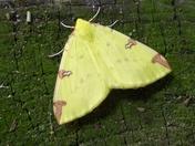 Beautiful Brimstone Moth