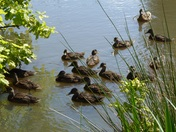 Mallards at Wood Dalling