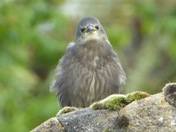 Of course I've got attitude - I'm a Starling !