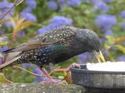 Starving Starling !