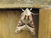 Angle Shades Moth (Phlogophora meticulose)