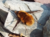Bombylius (BeeFly or BeeWhal) sunbathing at Kirby Cane