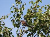 Norfolk Dartford Warbler