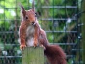 Red Squirrels