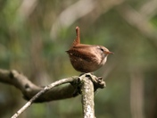 Wrens galore