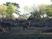 Deer Deer Deer.
