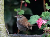 More Wrens