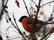 More Bullfinches
