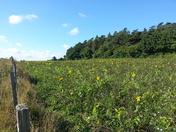 sunflowers in walsingham