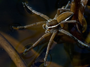 The Life of Raft Spiders