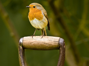 Robin Redbreast on Fork Handle