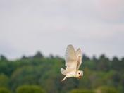 May 2013 / Barn Owl at Beachamwell