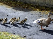 March of the Ducklings