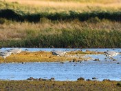 herons at cley reserve.
