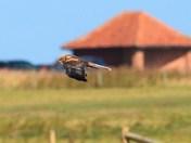 marsh harrier hunting cley reserve.