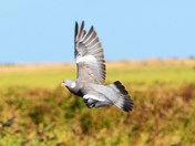 woodpigeons in flight at cley reserve.
