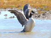 canada goose exercising its wings cley reserve,.