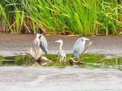birds of strumpshaw fen taken late august.