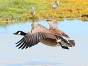more bird in flight action cley reserve,.