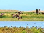 canada geese in flight over cley reserve.