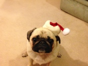 Fenton the Pug