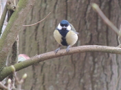 Male Great Tit