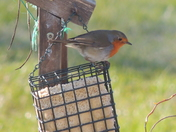 Robin On Suet Feeder